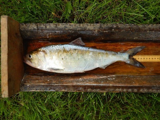 An American shad landed on Delaware River in 2017.