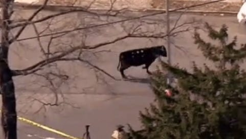 It took more than two hours to capture a rogue cow running through Queens on Tuesday.
