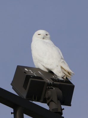 A snowy owl slept for hours at this location in Greenville