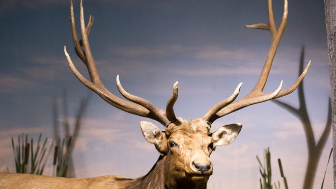 A mounted elk is part of a new exhibit at the Indiana State Museum.