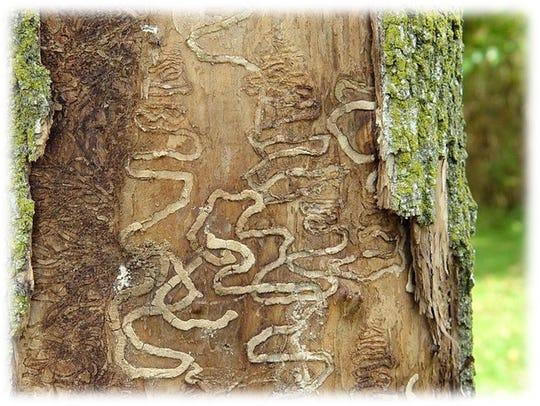 Ash borer larva borrow behind the bark of the tree,