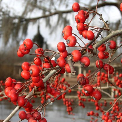 The green hawthorn is common in southern swamps and