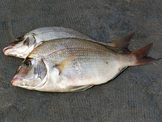Porgies, pictured, are one fish Jersey Shore fishermen want to find new markets for.