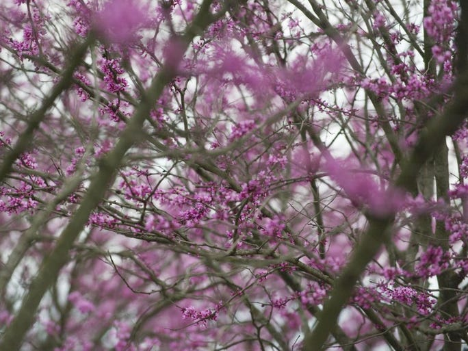 A Redbud tree blooms along Middlebrook Pike in Knoxville on Thursday, March 24, 2016.