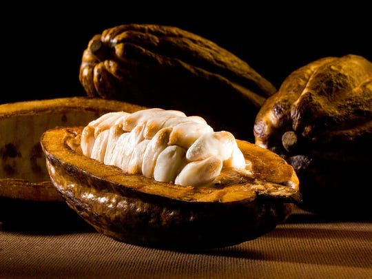 """Chocolate,"" an exhibit created by The Field Museum, will be at the Cranbrook Institute of Science Sept. 23-Jan. 7. This is a photo of a ripe, raw cacao pod."