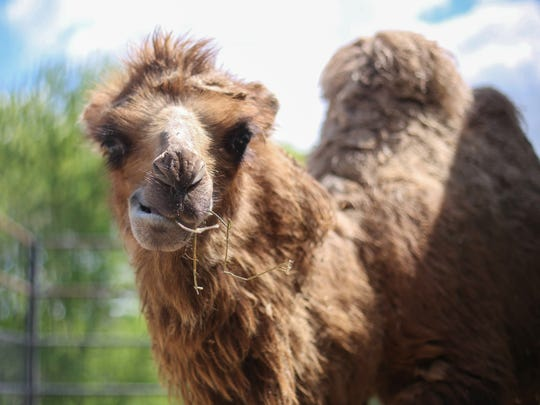 A baby camel chews hay from inside a pen on Tuesday, May 3, 2016, at the Blank Park Zoo in Des Moines.