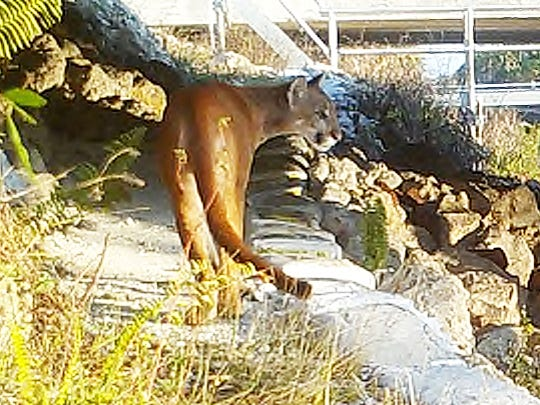 In this provided wildlife camera photo, a panther crosses a newly built land shelf at the Miller Canal below Alligator Alley.