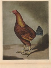 """""""Streaky Red Breasted Dunn,"""" in a print here by Charles"""