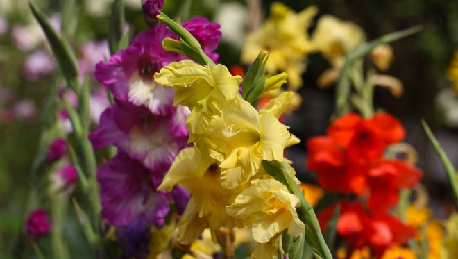 Gladiolus farms, especially in the Iona district southwest of Fort Myers, produced thousands of acres of gladioli.