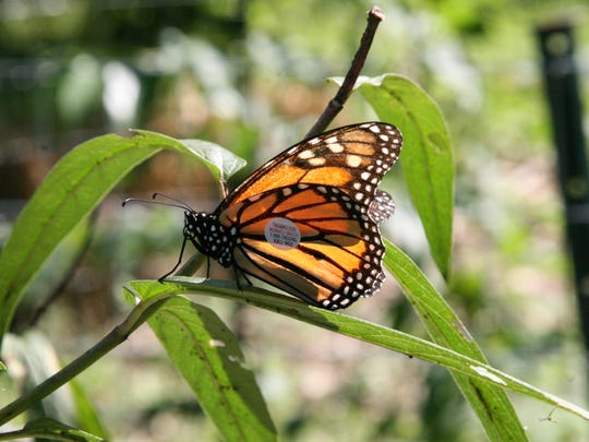 A monarch butterfly with a tag applied by Marie Longo