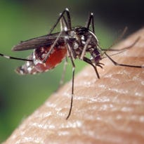 Zika virus is most commonly spread through mosquito bites.