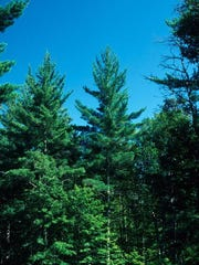 Pinus strobus is a tree to appreciate now and in the