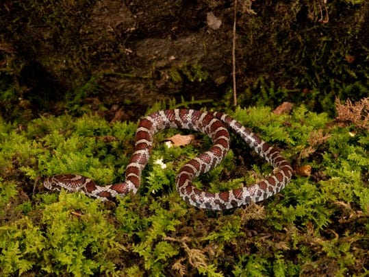 eastern milk snake_Darren Warner.jpg