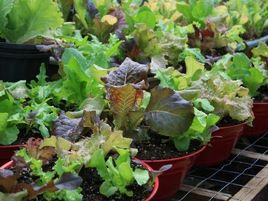 sg20140505_lettuce.jpg