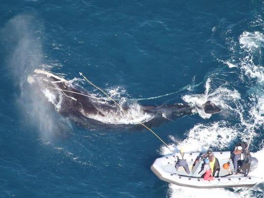 Entangled Whale.jpg