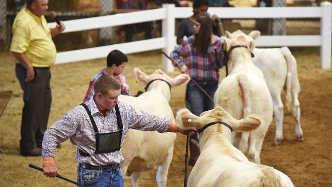 Contestants show Charolais during the beef breeding show at the Muskingum County Fair on Thursday.