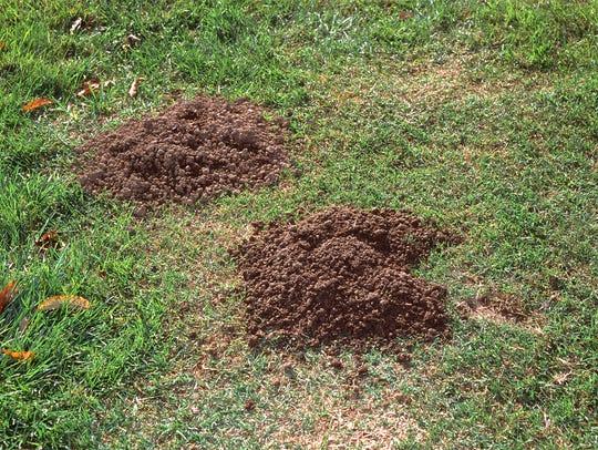 Gopher mounds are more haphazard than mole mounds.