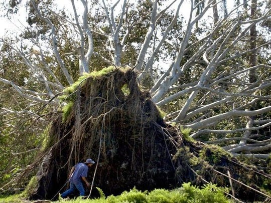 In this file photo, Gene Wilber of Naples checks out the bottom of a banyan tree along Crayton Road in Naples that was ripped out of the ground by Hurricane Wilma.