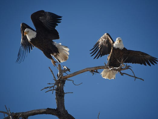 Two bald eagles keep watch in southeast Fort Collins.