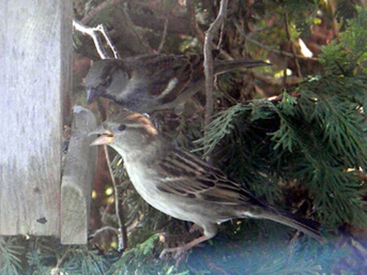 "Teanna Byerts of Dover submitted this photo to the YDR Animals gallery Jan. 15. Byerts writes, ""Male and female house sparrows........."" Submitted"