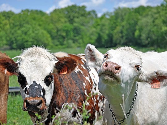 Sprout Creek Farm's cows graze in the fields.