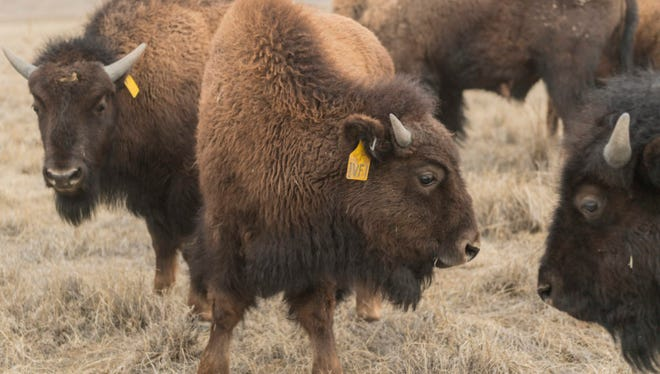 A 10-month-old calf known as IVF 1 roams in Soapstone Prairie Natural Area, March 28, 2018. IVF 1 was the first bison calf conceived using in vitro fertilization, or IVF, at Colorado State University's Animal Reproduction and Biotechnology Laboratory. She died in April 2018.