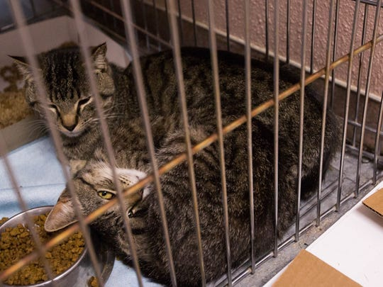 Over 120 cats were taken in by the Animal Service Center of the Mesilla Valley. Many of the cats came from a hoarding situation in the county. Friday April 27, 2018. A majority of the cats will be made available for adoption.