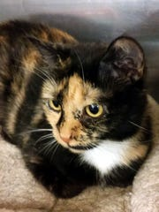 Queenie is an adorable 2-year-old, spayed female calico