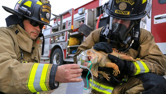 In this Friday, March 10, 2017 photo, Pendleton firefighter/paramedics Craig Murstig, left, and Marc Proctor give first-aid oxygen to an iguana rescued from a burning house on Southwest Goodwin Ave. in Pendleton.