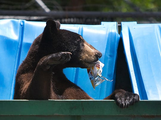 In this March 4, 2009 file photo, a black bear scavenges for food in a Dumpster.