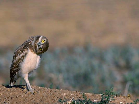 -2012_Burrowing_Owl_AndyLong_AudubonPhotographyAwards.jpg_20140909.jpg