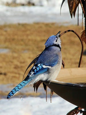 A thirsty blue jay enjoys an afternoon drink at a bird bath on a farm near Eau Claire.