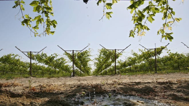 Grapevines are watered with drip irrigation in a field near Avenue 50 in Coachella.