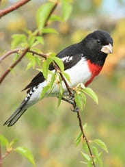 The rose-breasted grosbeak breeds in Wisconsin in the