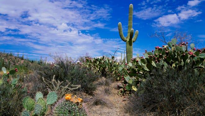 Saguaro cactus in a national park, Saguaro National Park, Arizona, USA.