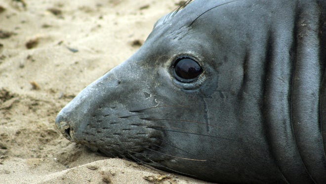 An elephant seal named Phyllis at Ano Nuevo Natural Preserve within Ano Nuevo State Park near Pescadero, Calif.