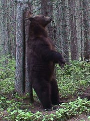 A grizzly bear rubs on a tree in Glacier National Park.