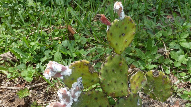 Cochineal is a parasitic insect that thrives on the prickly pear cactus.