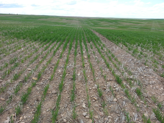 A barley field in Chouteau County shows the effects