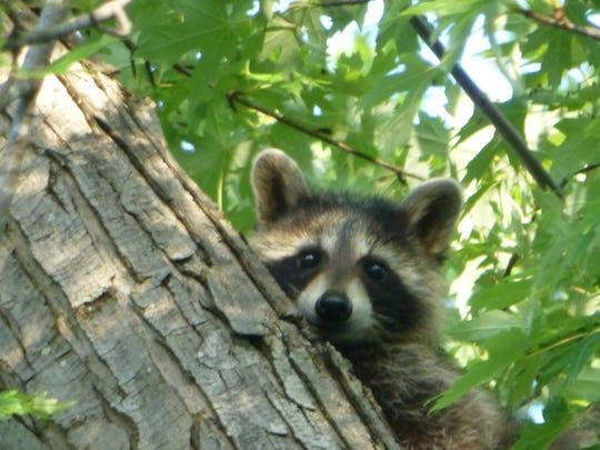 Curious raccoon cub in maple tree.