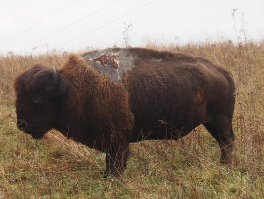 Sparky the Bison