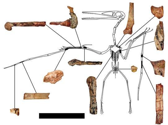 USF image pterodactyl 1