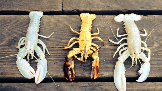 In this photo provided by Owls Head Lobster Company, two rare albino lobsters flank a rare yellow lobster on a deck in Owls Head, Maine, Friday, Sept. 5, 2014.