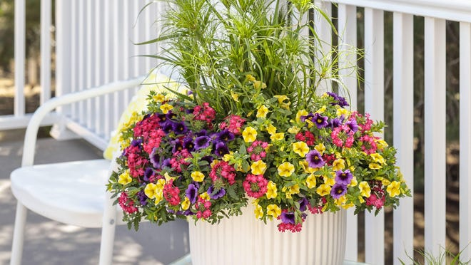 Verbena -- the pink flowers in this cheerful container combination -- thrives in full sun.
