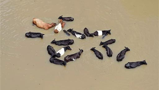 Cattle huddles together in the water, caused by flooding after the heavy rains in Ascension Parish, in St. Amant, south of Baton Rouge, La., Tuesday, Aug. 16, 2016. (Bill Feig/The Advocate via AP)