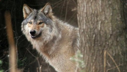 The timber wolf is a federally protected animal in Wisconsin.