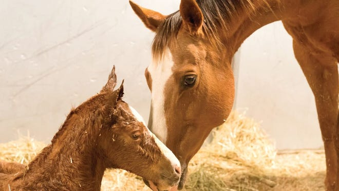 A mare nuzzles her filly minutes after giving birth at the Colorado State University Equine Reproduction Laboratory in early March.