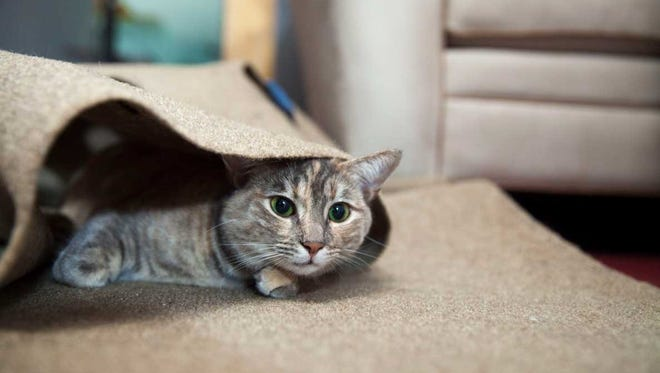 A cat sits inside a Ripple Rug, a pet product at the center of a federal trademark-infringement lawsuit against two Springfield companies.
