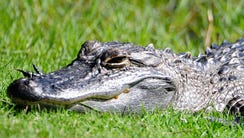 PALM COAST, FL - OCTOBER 30:  An alligator suns on