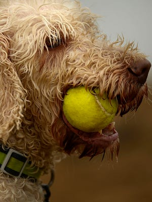 Dunkin, a labradoodle, hangs onto his tennis ball while taking part in the Doggie Dip at Ashwaubomay Lake in Ashwaubenon on Sunday, Aug. 17, 2014. Dunkin's owners are Henry and Vicky Darragh of Oconto. A portion of the proceeds from the event benefit the Bay Area Humane Society.